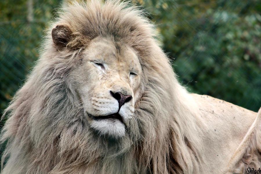 Give me a lion smile by AzureHowlShilach on DeviantArt