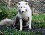Arctic wolf sitting 59