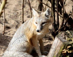 swift fox looking around by AzureHowlShilach