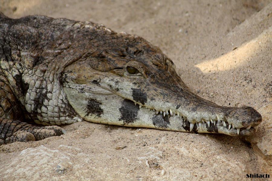 wallpaper 1920x1080 crocodile snout - photo #29