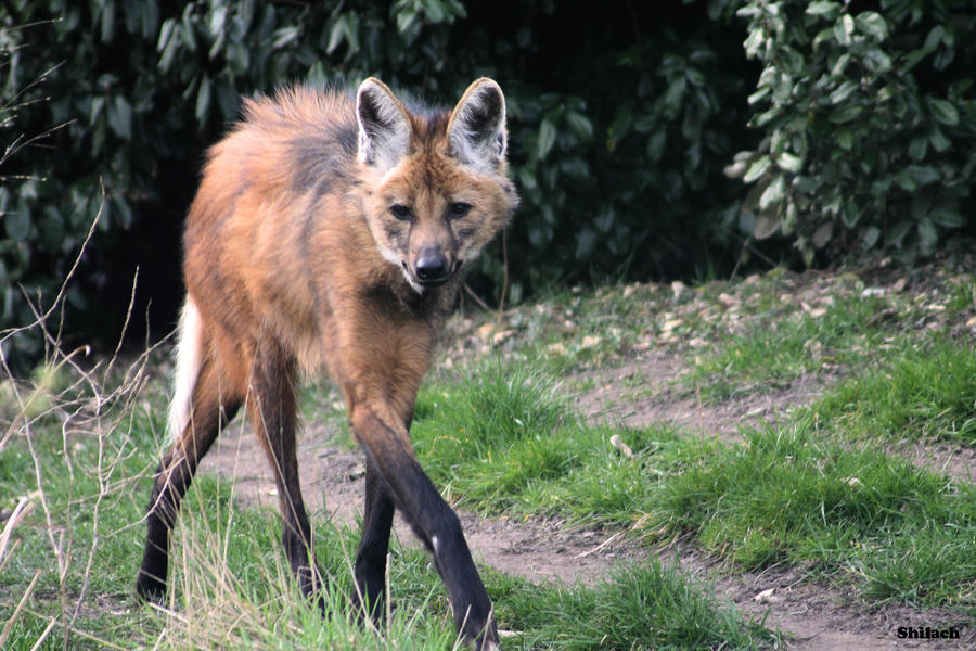 Maned Wolf Pictures Maned Wolf 118 by