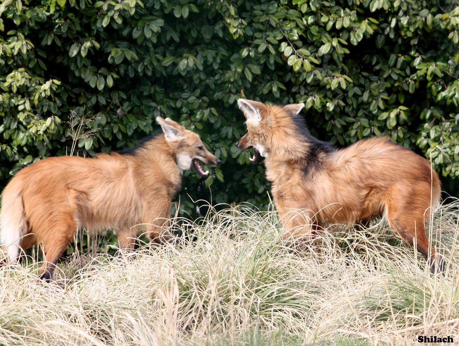Maned Wolf Pictures Maned Wolf Argument 116 by