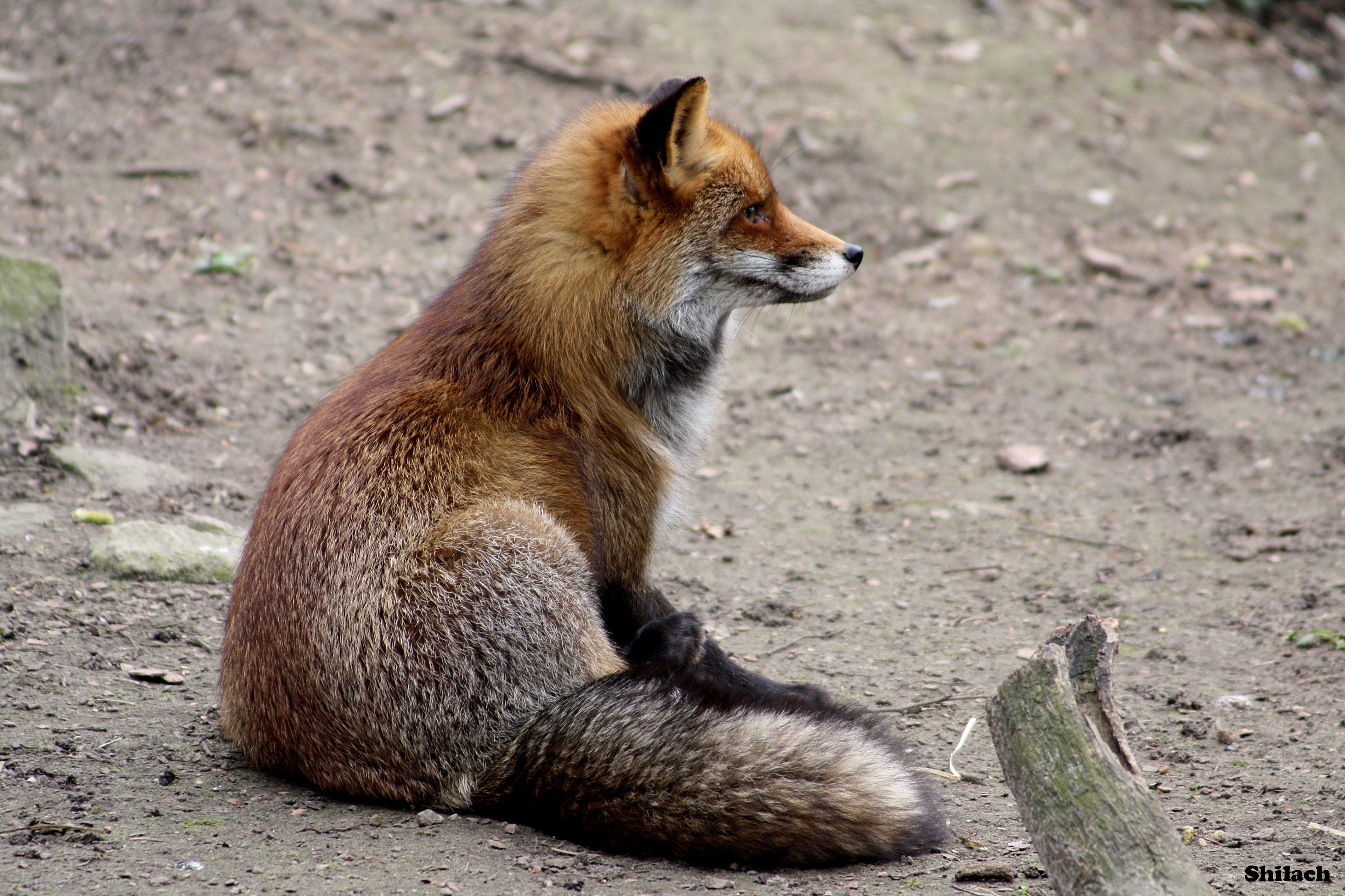 cute red fox wallpaper wwwimgkidcom the image kid