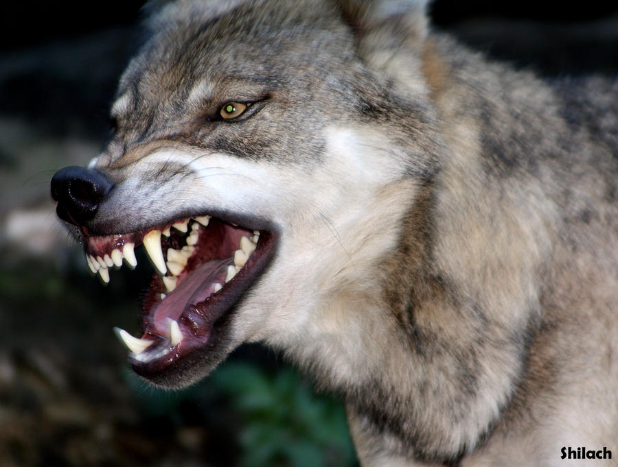 angry grey wolf - photo #2