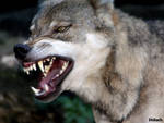 Angry wolf 153