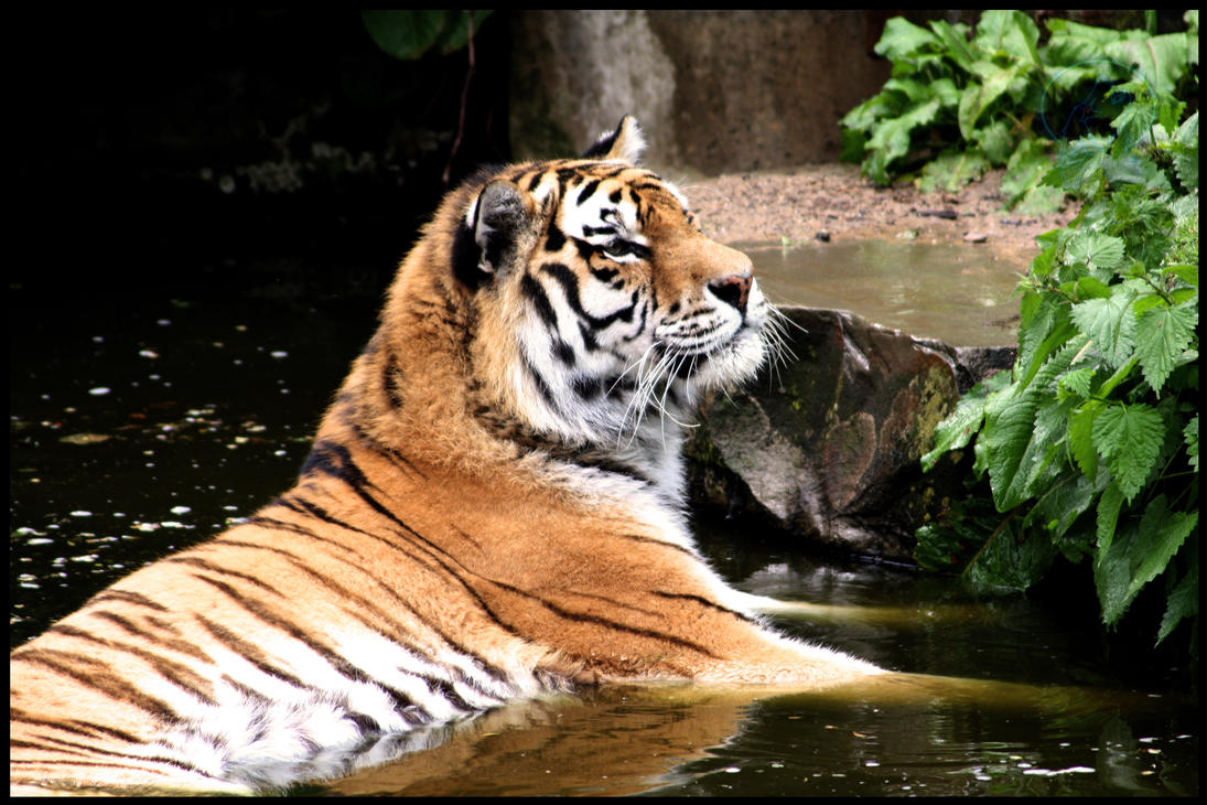 Tiger laying in water by AzureHowlShilach