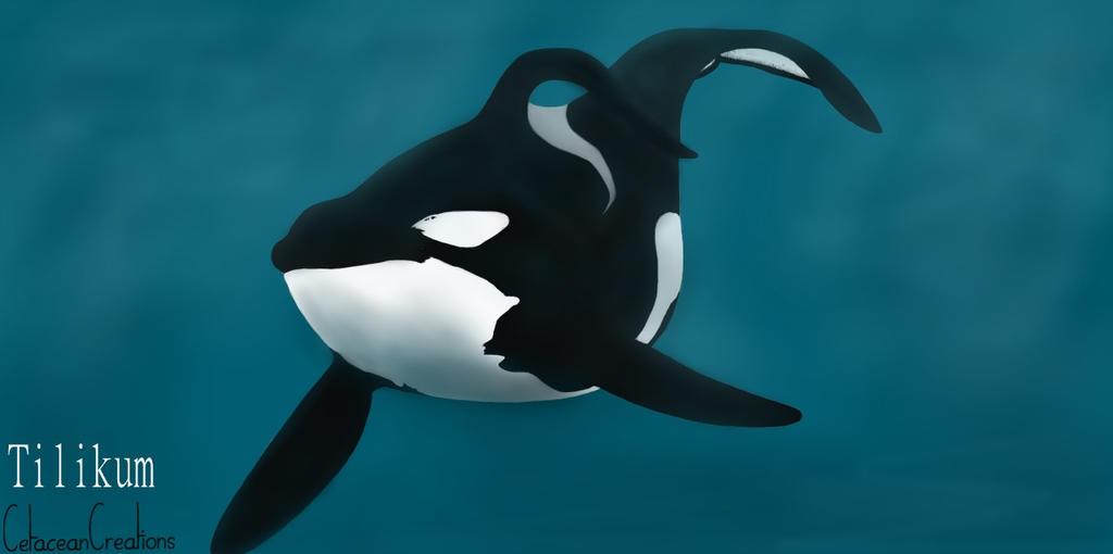 Tilikum by CetaceanCreations