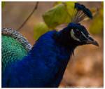 Peacock 035