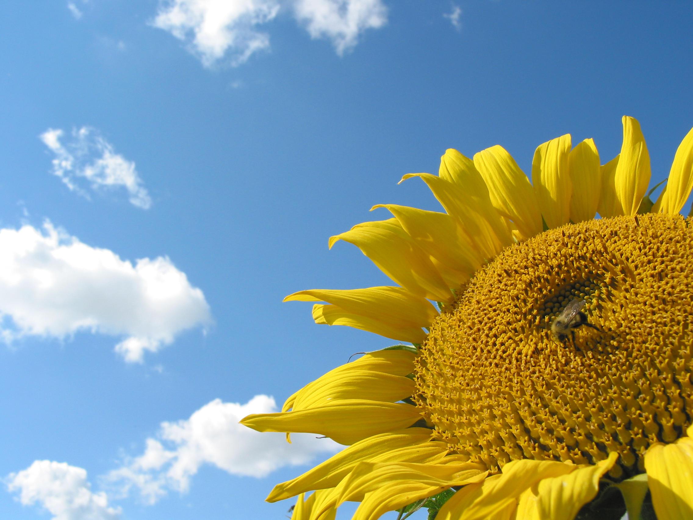 g2-sunflower-2 by zinux