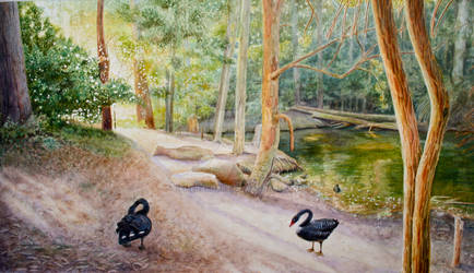 Black Swans by the pond