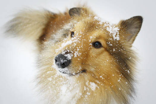 Sheltie in the snow..