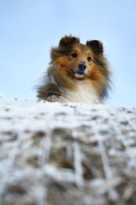 Erick, the shetland sheepdog