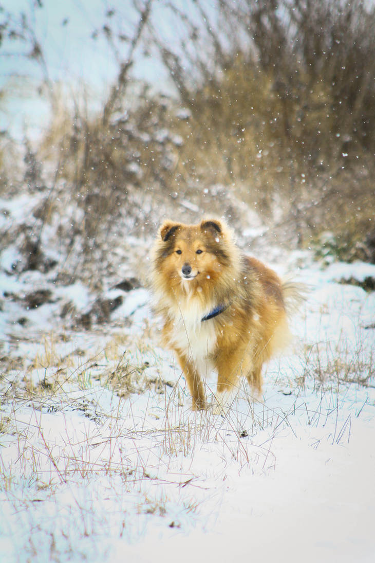 Erick the sheltie in the snow!