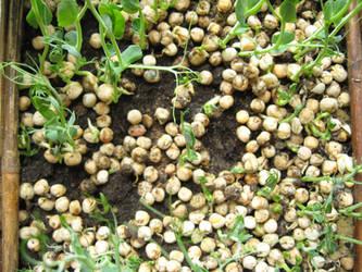 Green Pea Seeds - stock by rarous-stock