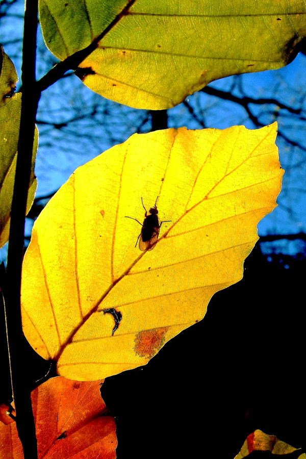 Autumn Gold + Fly by Coigach