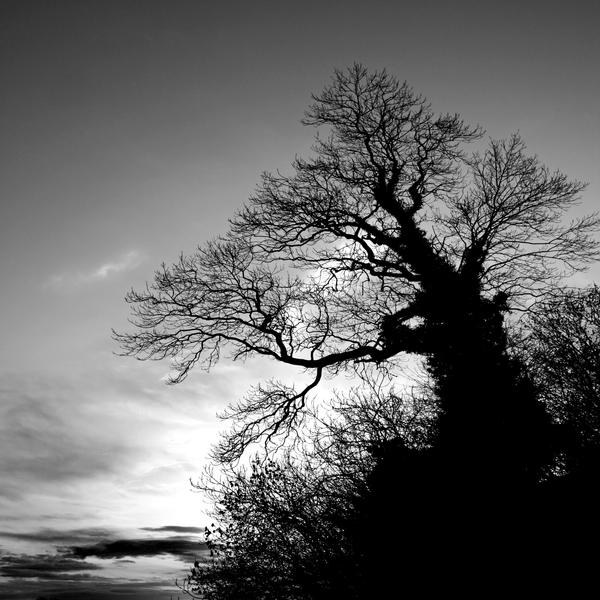 Cardoness Oak2 by Coigach