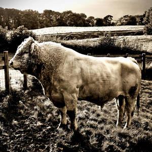 Charolais Bull by Coigach