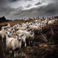 Staring Sheep - Road to Ayr