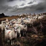 Staring Sheep - Road to Ayr