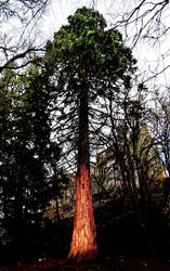 KenmureCastle5: redwood