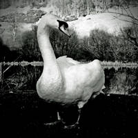 Gatehouse: swan+forest