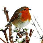 Robin by Coigach