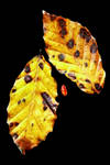 Little Leaf+Big Leaves by Coigach