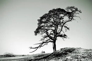 Dumfries: Winter Pine by Coigach
