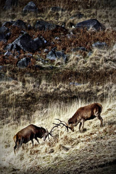 Stags in a Landscape: Galloway