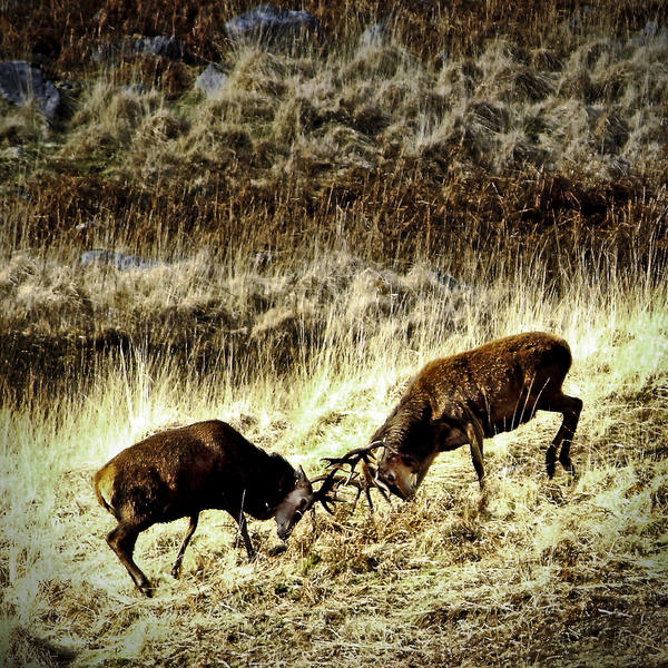 Galloway: stags' endurance