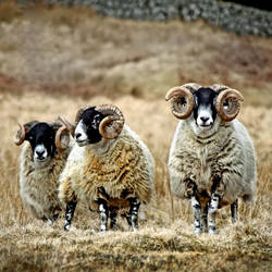 Blackface Rams - Cairnsmore by Coigach