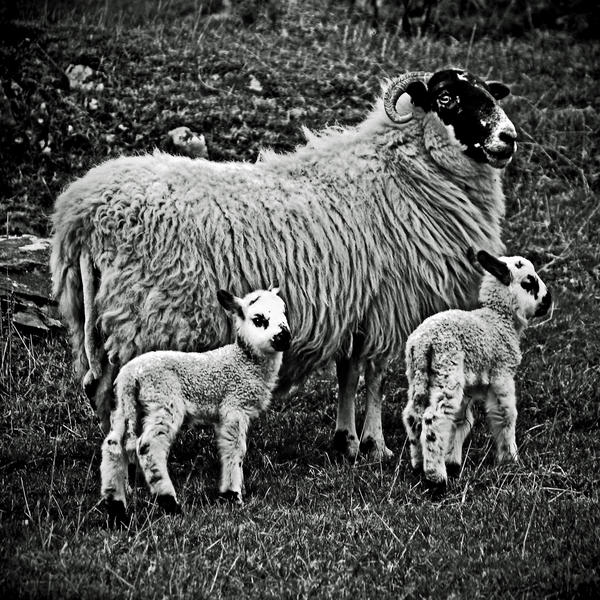 Mossyard: ewe+lamb2 by Coigach