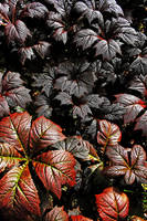 Rodgersia Podophylla - May by Coigach