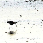 Curlew at work