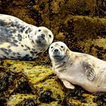 Staring seals...