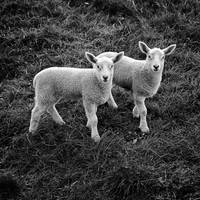 Synchronised Lambs