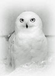 Snowy Owl Portrait by Coigach