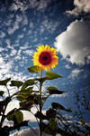 Simple Solitary Sunflower 1 by Coigach