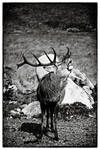 Galloway Stag 2 by Coigach
