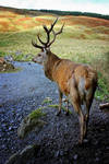 Galloway Stag 3 by Coigach