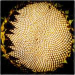 Sunflower Seeds by Coigach
