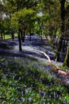 Carstramon Wood: Springtime by Coigach