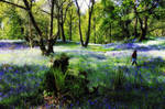 Carstramon Wood - a bluebell walk by Coigach