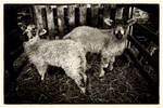 Spring Lambs by Coigach