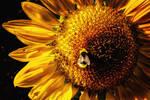 Sunflower+Company by Coigach