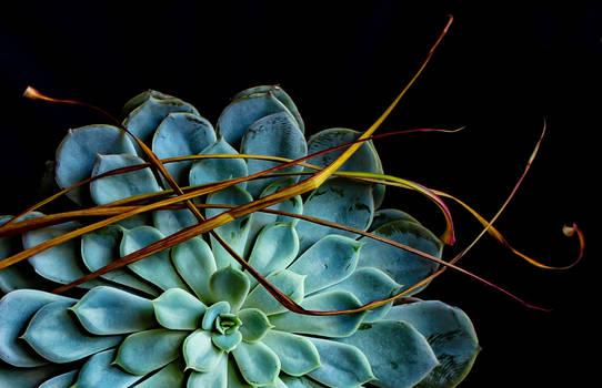 Dracaena Marginata+Aeonium Urbicum - Closer
