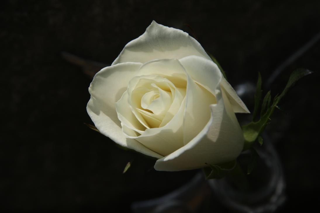 White Rose by mitsubishiman