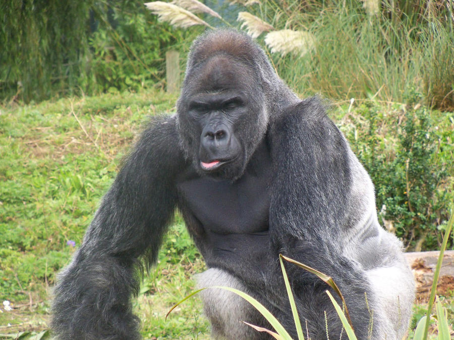 Eastern Mountain Gorilla Silverback vs American Black