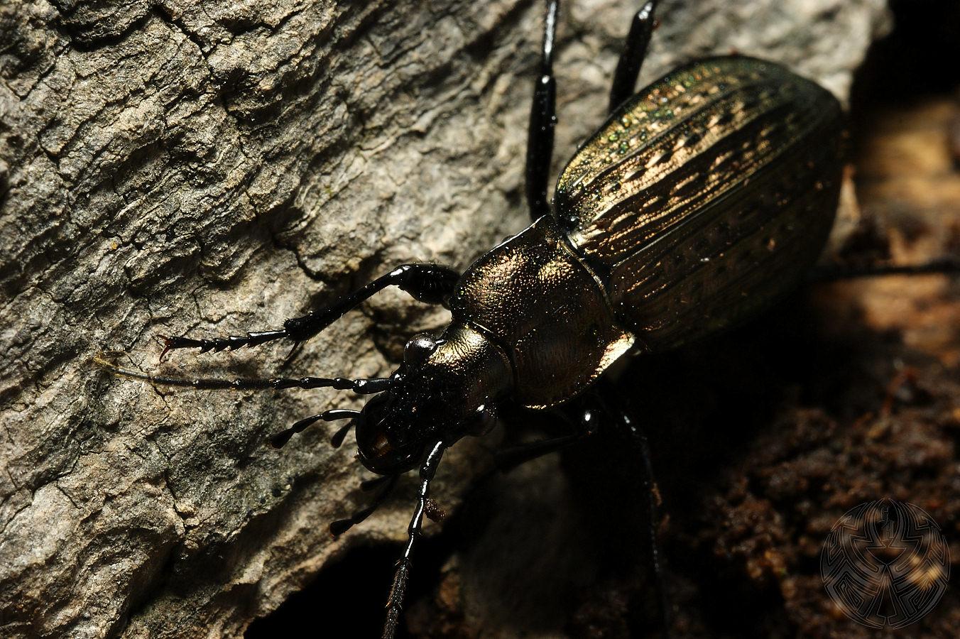 Carabus granulatus by webcruiser