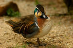 Duck-Day Baikal Teal Anas for.